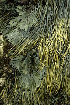 Seaweed1 by the boy wonder 2009 on Flickr.