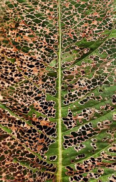 Skeletonized Leaf