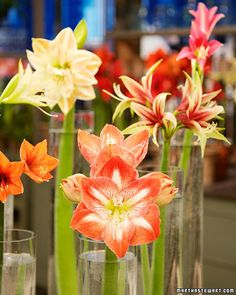 Amaryllis...plant some more in these colors.