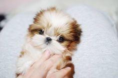 Trendy Dogs And Puppies Teacup Shih Tzu Ideas Teacup Puppy Breeds, Teacup Shih Tzu, Baby Shih Tzu, Cute Teacup Puppies, Tiny Puppies, Puppies And Kitties, Shih Tzu Puppy, Shih Tzus, Cute Puppies