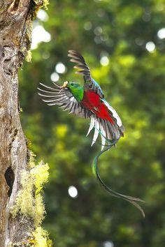 Quetzal, Costa Rica, Alvaro Cubero Vega