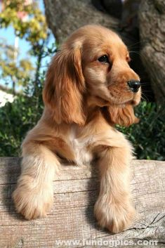 Beautiful Cocker Spaniel puppy  Fetch more cute pinworthy dogs by clicking on this pic