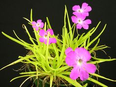Butterwort has sticky leaves so any winged prey is trapped*****Follow our unique garden themed boards at www.pinterest.com/earthwormtec*****Follow us on www.facebook.com/earthwormtec for great organic gardening tips
