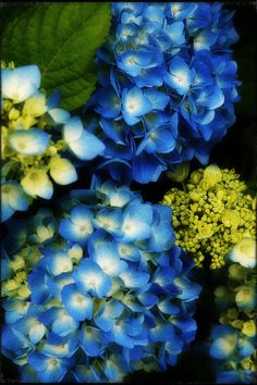 I love all flowers but the blue hydrangea is the most beautiful to me.