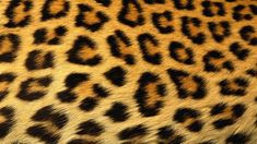 Leopard Skin Abstract Print Wild Animals Hd Photo
