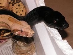 VPI Midnight Gin female and VPI Pink Panther Caramel Albino male Boa constrictor