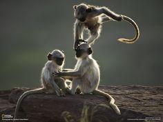 Afbeeldingsresultaat voor welke apen komen in india voor