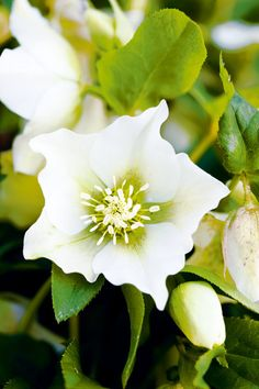 Winter rose Helleborus    Plant in soil enriched with compost and give light-dappled shade. Perfect under deciduous trees, winter sunshine will encourage more flowers and the summer canopy will protect from too much heat. Photo: LindaWoo