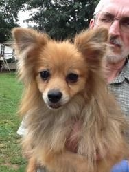 Lilly Red is an adoptable Pomeranian Dog in Springfield, VA. This sweety is Lilly Red the Pom. She is about 2-3 years old, loves other small dogs, weighs 8lbs. and is a very active little Pom. She lov...