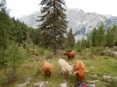 Biohof Karner | Hochlandrind bestellen | Salzburg Salzburg, Mountains, Keto Recipes, Nature, Animals, Travel, Blog, Free Range, Animais