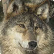 Wolves vary in size depending on where they live. Wolves in the north are usually larger than those in the south. The average size of a wolf's body is 3-5 feet long. Their tails are usually 1-2 feet long. Females typically weigh 60-100 pounds, and males weigh 70-145 pounds.