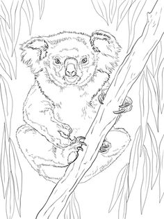 Koala Bear Koala Bear on Eucalyptus Tree Coloring Page sarahs