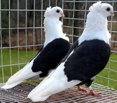The bird that is seen in the picture is both the pigeon. In the house there is a pet. Pet Pigeon, Pigeon Loft, Dove Pigeon, Pigeon House, Pigeon Bird, Jacobin Pigeon, Fantail Pigeon, Pigeon Diseases, High Flying Pigeons