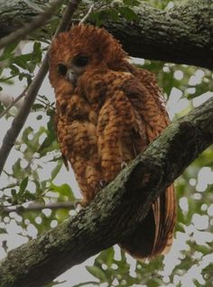 Pel's fishing owls can be heard answering each other most evenings in the northern part of the Okavango Delta. The first booming call for the evening from a nearby owl always hushes a campfire. (Steve Boyes)