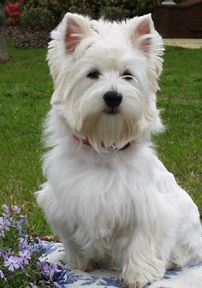 Westies are soooo cute! Our Zena looked just like this. Still miss that feisty girl.