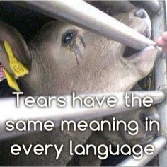 Cows have feelings too. Be considerate, Veal calfs off to slaughter. They have never known their grieving mothers nor nursed. It is well k own they try desperately to suckle the fingers of the killers taking them to the slaughter line