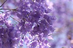 Purple Jacaranda blooms in brilliant October sunshine -Lilibet Stanley