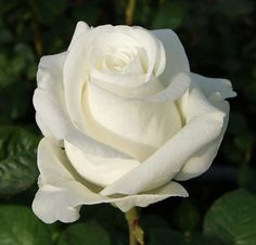 Beautiful Flowers Wallpapers, Beautiful Roses, Winchester Cathedral Rose, White Roses, White Flowers, Snow Rose, Roses Only, Long John Silver, Good Night Image