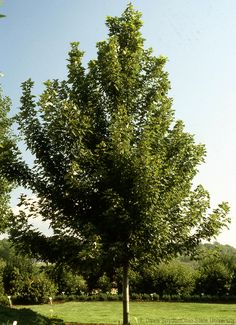 Green up your farm landscape and give your livestock a place to take cover by planting these shade trees.