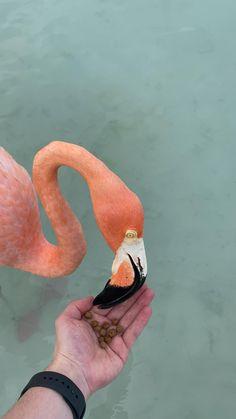 Boat Discover Flamingo island Aruba Flamingo island at Renaissance private island In Aruba. Feeding the Flamingos. Cute Little Animals, Cute Funny Animals, Beautiful Birds, Animals Beautiful, Animals And Pets, Baby Animals, Flamingo Pictures, Cute Animal Videos, Tier Fotos