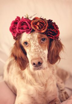 An English Setter Beautiful Dogs, Animals Beautiful, Cute Puppies, Dogs And Puppies, Animals And Pets, Cute Animals, Dog Enrichment, Mini Dogs, Irish Setter
