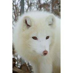 Google Image Result for... ❤ liked on Polyvore featuring animals, pets and wolves
