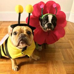 'So we're gonna be a Bumble Bee and a Petunia on School Photo Day?!'.....'Really Mom!?' French Bulldogs in Costume.