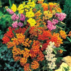 Butterfly Weed, Butterfly Plants, All Plants, Garden Plants, Partial Sun Perennials, Deer Resistant Flowers, Perennial Bulbs, Spring Hill Nursery, Sandy Soil