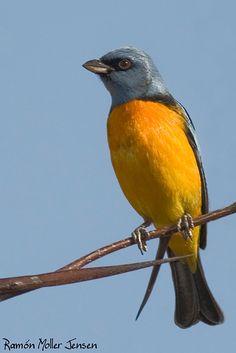 La Tangara azul y amarillo es una especie de ave de la familia Thraupidae, las tangaras. Se encuentra en Argentina, Uruguay, Brasil, Paraguay, Bolivia, extrema frontera norte de Chile y Andina de Perú y Ecuador.