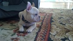 Odie Just Keeping Watch! White French Bulldogs, Boston Terriers, Pugs, Your Dog, Creatures, Puppies, Watch, Animals, Beautiful