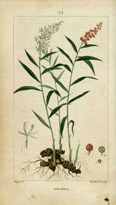 img/dessins-gravures de plantes medicinales/galanga.jpg