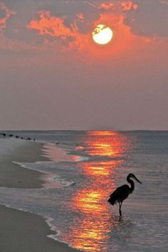 Dinnertime on the beach in Boca a heron at sunset - fabulous photo Beautiful Sunset, Beautiful Beaches, Beautiful World, Beautiful Birds, Beach Scenes, Belle Photo, Pretty Pictures, Pictures Of The Beach, Beach Photos