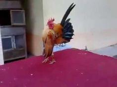 Gallo senza corpo come fa?