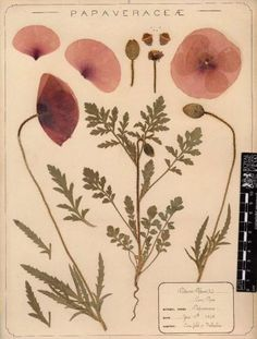 Herbarium specimen of common poppy Papaver rhoeas collected 1895 by Frances Giles a pharmacist near Folkestone Kent from the Royal Botanical Garden Vintage Botanical Prints, Botanical Drawings, Botanical Art, Botanical Gardens, Vintage Floral, Vintage Botanical Illustration, Kew Gardens, Vintage Flowers, Vintage Art
