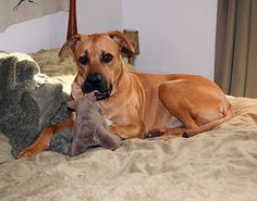 Brown Great Dane Boxer Mix Puppies Wallpaper