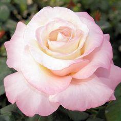Crescendo rose from Jackson & Perkins