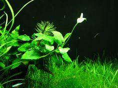 Unirdna's 46g Bowfront - Anubias flower underwater