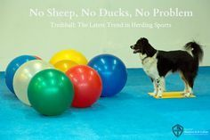 You don't need to own a herd to give your herding breed dog the mental and physical stimulation s/he requires - just play Treibball!