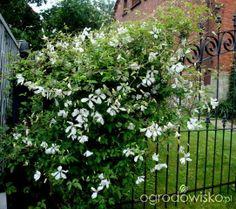 Clematis Alba Luxurians Peaceful Places, Flower Gardening, Shrubs, Perennials, Outdoor Living, Garden Design, Outdoor Structures, Landscape, Flowers