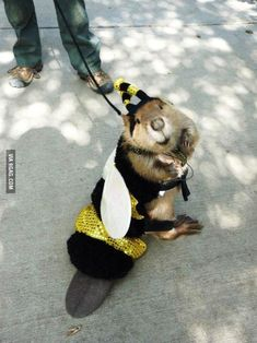 Yes folks, it's a beaver dressed up as a bee for halloween