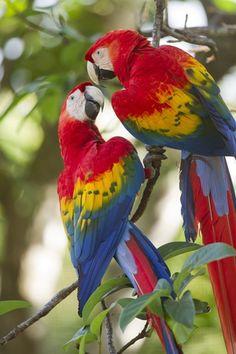 Scarlet Macaws, Costa Rica Travel Photographic Print - 41 x 61 cm Pretty Birds, Beautiful Birds, Love Birds, Feather With Birds Tattoo, Bird Feathers, Tattoo Bird, Exotic Birds, Colorful Birds, Costa Rica