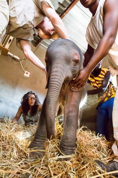 An elephant calf is saved after he became trapped in a dam at Phalaborwa Copper, Limpopo.