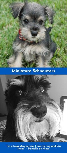 """If you pick up a starving dog and make him prosperous he will not bite you. This is the principal difference between a dog and man."" – Mark Twain #miniatureschnauzer"