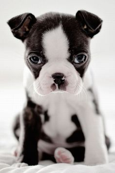 cute Boston Terrier puppy staring at you