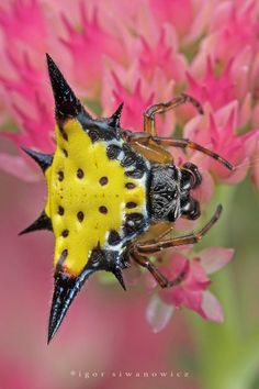 Gasteracantha Spiny orb weaver One of the bright-hued spiders is the spiny orb weaver, Gasteracantha cancriformis. Although not as large as some of the other orb weavers, its combined color, shape, and distinctive web makes G. cancriformis a very recognizable spider.