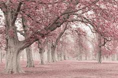 Avenue of blossoms