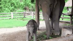 Baby elephant spots a visitor!!! SOO CUUUTEE!!!!!!!!!!