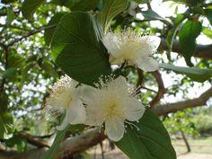 Flor de Goiabeira- Cerrado mineiro
