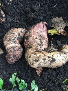 Podcast cultiver la patate douce jardins e divers o - Comment planter des patates douces ...