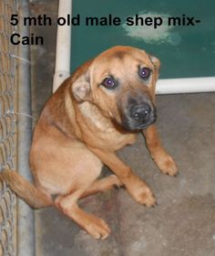 ***SUPER URGENT!!!*** - PLEASE SAVE ME!! - EU DATE: 7/23/2014 -- cain  Breed: Shepherd (mix breed) Age: Under 6 months Gender: Male  Size: Small,  hasShots,  -  Call Silvia and Debbie now,,,,,Silvia is 910-876-0539 and Debbie is 339-832-0806. If Silvia's mailbox is full you can Text her. Transportation is generally available up and down the East Coast from NC, VA, MD, NJ, PA, NY and the North East.